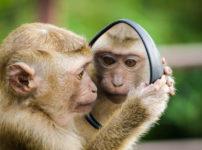 鏡を覗き込み自分を見つめる可愛い子猿