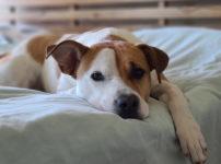 めんどくさそうにベッドにうなだれる犬